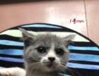英短蓝白猫咪特价出售