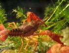 盱眙龙虾虾苗浮头的处理方法
