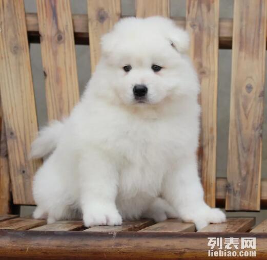 微笑天使可爱萨摩耶幼犬出售