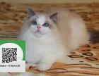 镇江哪里卖布偶猫 镇江哪里有宠物店 镇江哪里卖宠物猫便宜