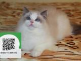 柳州在哪里卖健康纯种宠物猫 柳州哪里出售布偶猫
