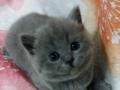 英短蓝猫还有加白小公