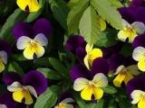 要买优惠的三色堇,金通花卉苗木是不二选择|三色堇价格