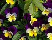 三色堇供应商在哪 好的三色堇金通花卉苗木供应