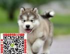 重庆阿拉斯加幼犬价格 出售阿拉斯加宠物狗图片领养多少钱