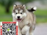佛山阿拉斯加幼犬价格 出售阿拉斯加宠物狗图片领养多少钱