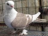 雞西觀賞鴿出售可以快遞上門 發往全國