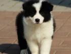重庆边境牧羊犬多少钱 重庆哪里出售边境牧羊犬