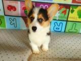 精品纯种威尔士柯基幼犬 多只待售自家繁殖 可见狗父母