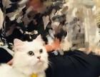 猫星人出售金吉拉