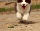普洱边境牧羊犬价格/普洱边境牧羊犬出售/普洱边境牧羊犬