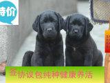 精品纯种拉布拉多犬,优选培育强健幼犬,确保健康