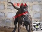 专业繁育卡斯罗犬 血统卡斯罗犬幼犬 卡斯罗犬价格