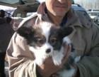 长期繁殖蝴蝶犬 各类纯种名犬 签协议