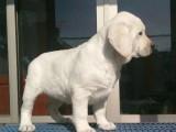 售纯种拉布拉多幼犬健康纯种协议质保 拉拉 导盲犬
