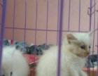 纯白波斯猫800 猫咪价格以标题为准