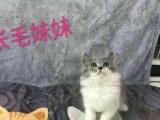 高地蓝猫求饭票!