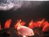 转让15条鹦鹉鱼