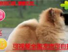 犬舍直销松狮幼犬多窝出售公母均有 签保障协议