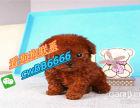 本地泰迪犬幼犬出售 泰迪狗活体长不大的茶杯泰迪宠物活体宠物狗