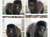 春季特惠松狮幼犬出售 呆萌呆萌的非常可爱 可上门挑选