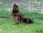 乐山纯种德国牧羊犬多少钱 在乐山什么地方能买到纯种德国牧羊犬