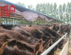 和田肉牛犊价格多少钱一头西门塔尔牛鲁西黄牛夏洛莱牛