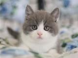 纯种英国短毛猫蓝白蓝猫幼宠物猫咪