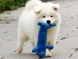 狗市可以买到纯种萨摩耶吗 多少钱一只