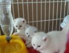 出售银点血渐层幼猫3只