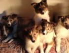 深圳狗场出售喜乐蒂泰迪哈士奇萨摩耶秋田德牧阿拉斯加等各种名犬