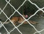 纯种马犬双血统杜高犬卡斯罗犬支持货到货款