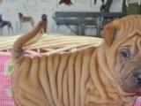 专业繁殖高品质沙皮狗幼犬 血统纯正 保证健康