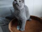 出售纯种英短蓝猫蓝白,公母均有