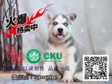 西伯利亚 哈士奇幼犬 出售 高品质正中雪橇犬