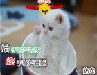 出售健康活泼金吉拉猫 公母都有
