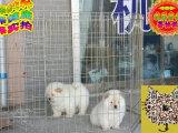 哪里出售松狮 纯种松狮多少钱