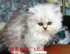 出售金吉拉找新家,超粘人可爱金吉拉猫咪,品相漂亮