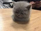 深圳哪里有卖蓝猫幼崽哪里卖的蓝猫更健康