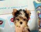 小体型金头银背娃娃脸约克夏幼犬出售