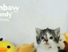 cfa繁育级美国短毛猫银虎斑加白