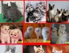 现货出售 孟加拉豹猫 二公二母豹纹猫咪活体 宠物猫