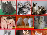 加菲猫 宠物猫活体长毛短毛鼻眼一线红白电影版加菲幼