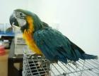 轉讓金剛鸚鵡 灰鸚鵡 葵花鸚鵡 金太陽鸚鵡 聰明會說話1