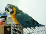 出售正宗越南鹩哥 和尚鹦鹉 金太阳鹦鹉 小太阳鹦鹉 吸蜜鹦鹉