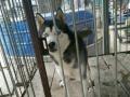 萨摩耶 哈士奇对外借配 出售幼犬