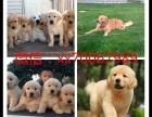 南昌犬舍出售金毛,哈士奇,拉布拉多,比熊等名犬,批发价出售