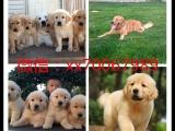 佛山本地繁殖世界各类名犬,品种齐全,签协议保健康