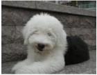 济南纯种古代牧羊犬价格 济南哪里能买到纯种古代牧羊犬