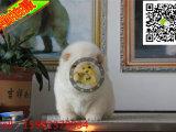 松狮温顺吗 松狮照片 哪里出售松狮幼犬